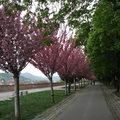 Virágba borul a Tóth Árpád sétány