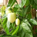 Pepino (solanum muricatum, vagy dinnyekörte)