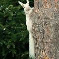 Fehér mókus fenn a fán