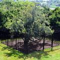 Az örökké termő körtefa