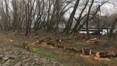 Natura 2000-es területen irtják a fákat a szentendrei Duna-parton