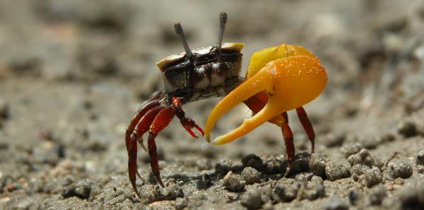 fiddler-crab.jpg