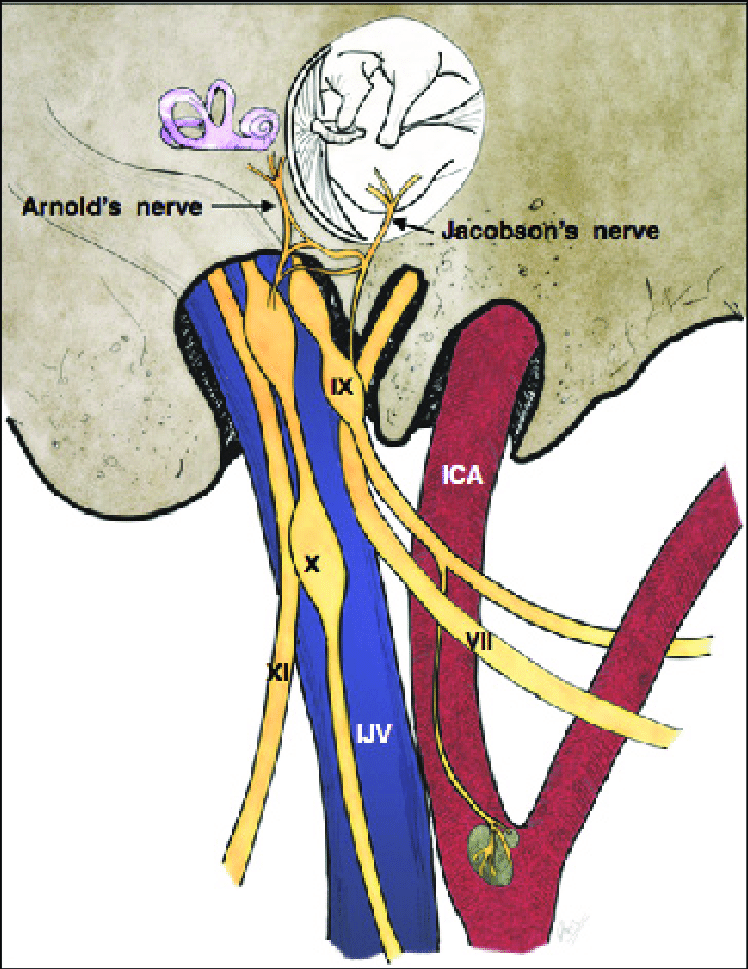 drawing-showing-the-origin-of-jacobsons-nerve-from-ix-cranial-nerve-and-arnolds-nerve.png