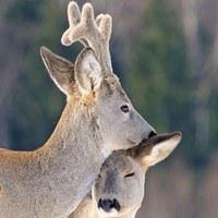 Early love #roedeer #love #hunt #hunter #hunting #huntinglife #erdozugas #february #wild #nature #naturephotography #hunters #roebuck #mik #yolo #hunstagram #ikozosseg #repost