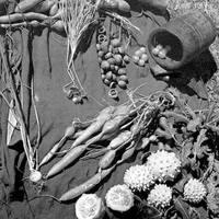Ehető vadnövények 1. rész - Növények felismerése, életciklusa és gyűjtési időszakok