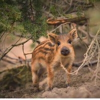 Let me play with you #wildboar #wild #wildpig #hunt #hunter #hunters #hunting #huntingdog #ikozosseg #repost #hunstagram #yolo #mik #erdő #erdozugas #nature #naturephotography #followusonfacebook #boarhunt #boarhunter
