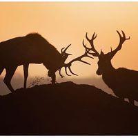 Morning meeting #erdozugas #reddeer #reddeerstag #stag #hunt #hunter #hunting #huntinglife #huntermagazine #huntingfoto #nature #naturephotography #meeting #repost #erdő #mik #yolo #ikozosseg #repost #reposted #wild #wildlife