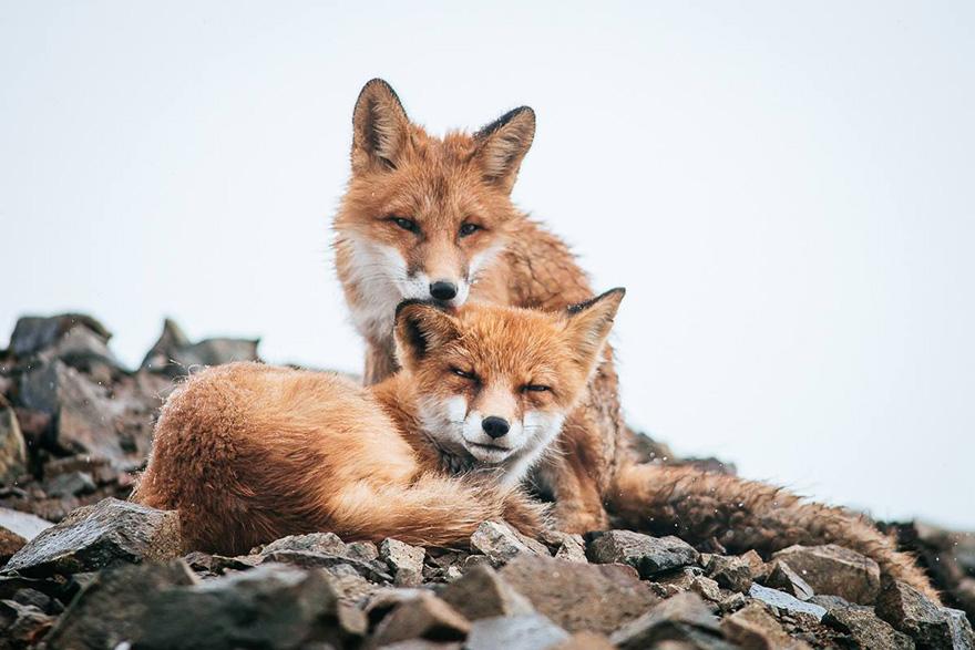 fox-photography-russian-miner-ivan-kislov-chukotka-151.jpg