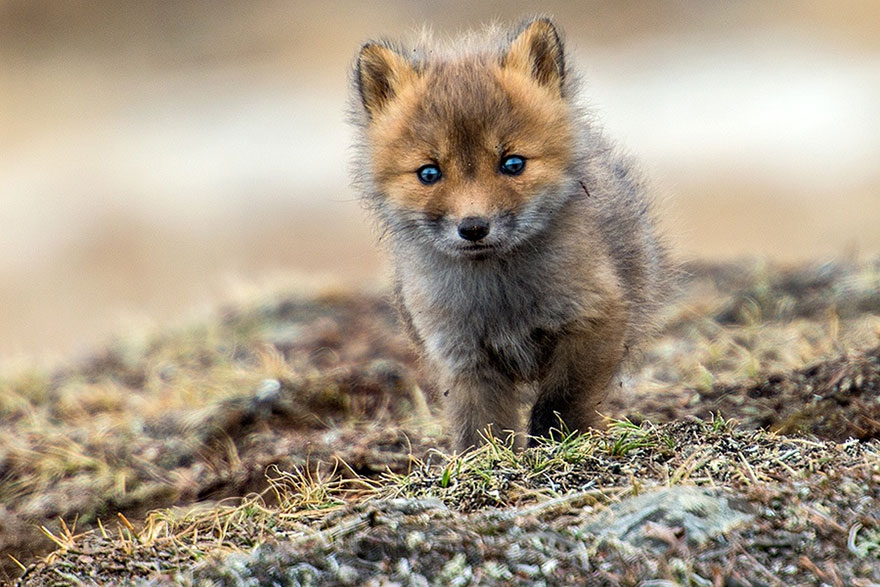 fox-photography-russian-miner-ivan-kislov-chukotka-18.jpg
