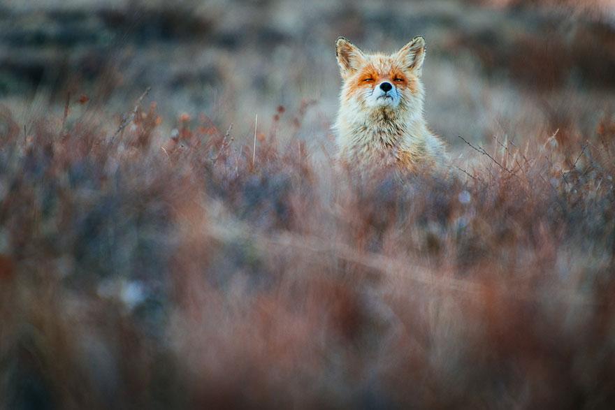 fox-photography-russian-miner-ivan-kislov-chukotka-2.jpg