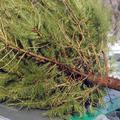 A kidobott karácsonyfákból még értékes biomassza lehet