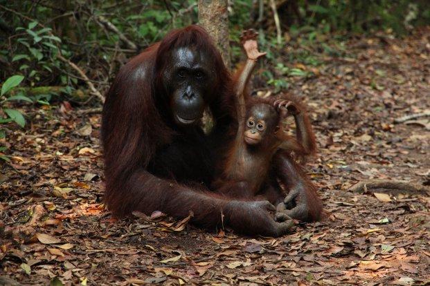 onkenteskedj_borneon_egy_orangutanoviban.jpg
