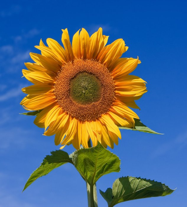 1200px-sunflower_sky_backdrop.jpg