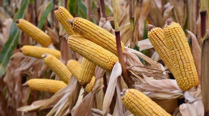 kukorica-800-.jpg