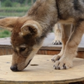 Lobo & Mira: első sétán a kézbarát kisfarkasok