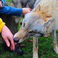 Ismerkednek a világgal a veresi farkaskölykök