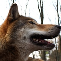 Konfliktuskezelés kell a farkasokkal kapcsolatban!