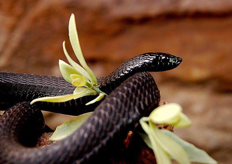 Kígyó és Kebel
