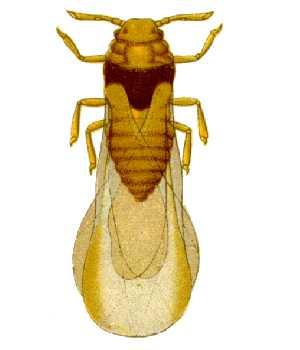 filoxera-wikipedia.jpg