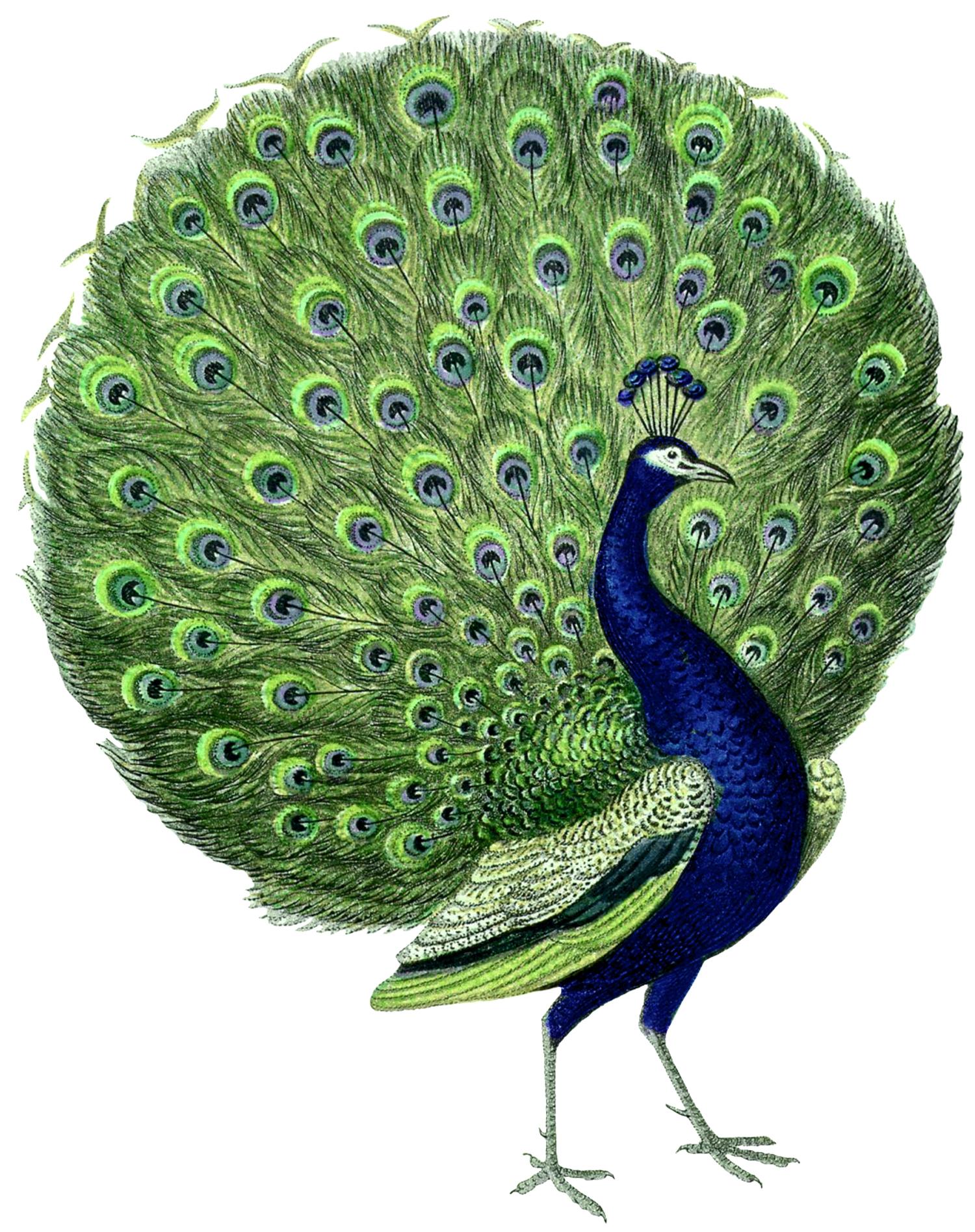 vintage-peacock-image-graphicsfairy2.jpg