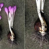 Colchicaceae - Kikerics félék