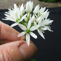 Alliaceae - Hagyma félék