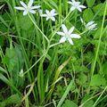 Hyacinthaceae - Jácint félék