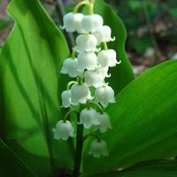 Ruscaceae - Csodabogyó félék