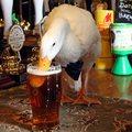 A csokornyakkendős kacsa, aki bement a kocsmába egy sörre, majd összeverekedett egy kutyával