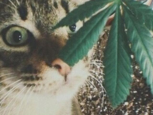 A rendőr kleptomániás cicája