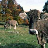 Fondul - tovább fejik a román tehenet