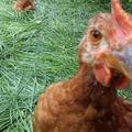 Műparaszt mobil csirkepanel