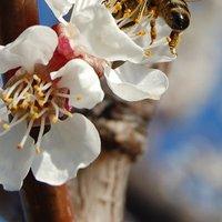 A mézek hamisak, pedig a méhek már dolgoznak
