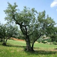 Az olívaolaj hamisítás nagyobb üzlet, mint a heroin