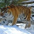 A tigris kihívás