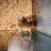 Frici, a világ legaranyosabb egere