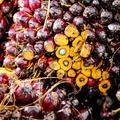 Az élelmiszeripar kedvence, az esőerdő ellensége: a pálmaolaj
