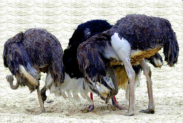 ostriches-head-in-sand2.jpg