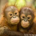 Az orángutánok világnapjára