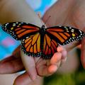 A Monsanto herbicidje irtja ki a pompás királylepke populációját
