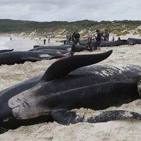 Döbbenetes látvány: 21 bálna pusztult el a tasmán partoknál