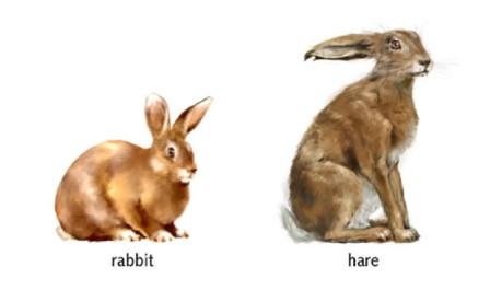 61_hare_vs_rabbit.jpg