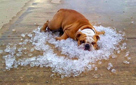 bulldog-on-ice.jpg