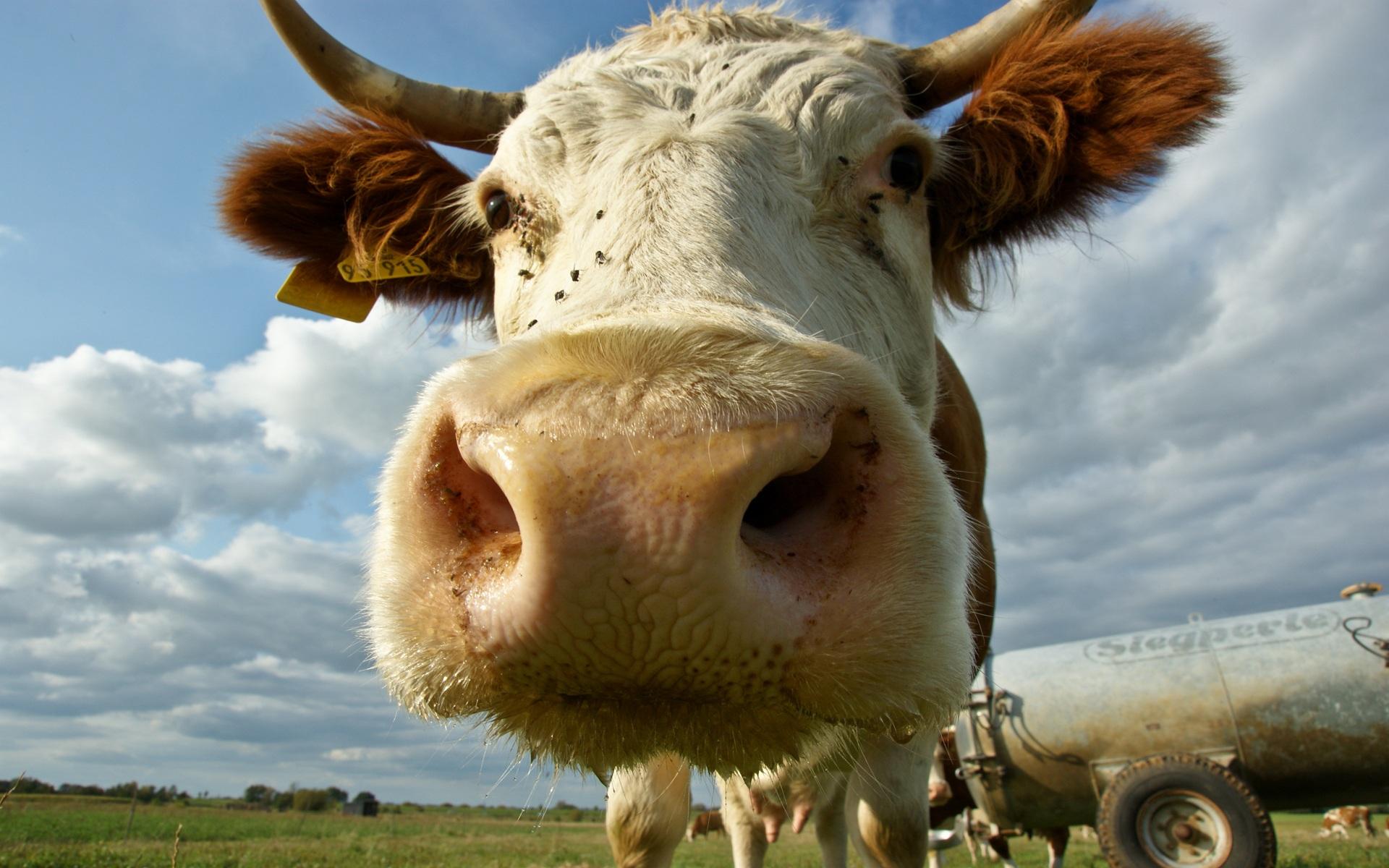 cow-face-j0sufok7.jpg
