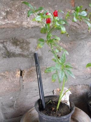újabb paprikák mmk 017_1.jpg