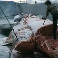 Egyre több cég bojkottálja az izlandi bálnahús szállítását