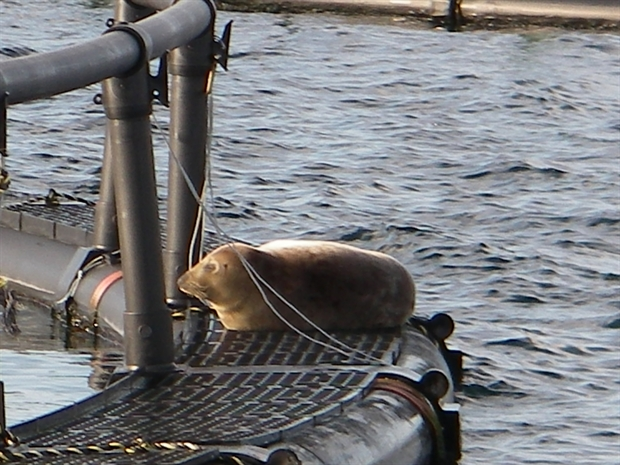 salmon seal.jpg