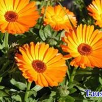 Körömvirág (gyógyításra)
