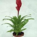 Vriesea virág (lakásban)