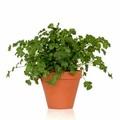 Cserepes növény (lakásban)